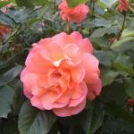Flori la Schönbrunn